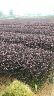 湖南省长沙市浏阳市黑珍珠红继木