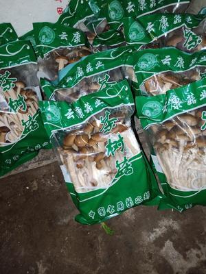 四川省成都市新津县棕褐色帽茶树菇 10~12cm 未开伞 鲜茶树菇