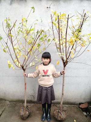 江苏省宿迁市沭阳县素心腊梅 1.5~2米