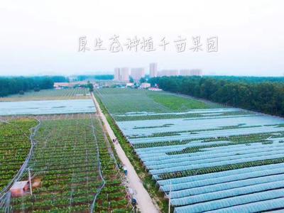 安徽省阜阳市太和县红油香椿