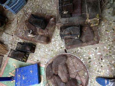 广西壮族自治区桂林市全州县竹鼠 2-4斤