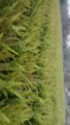 四川省乐山市市中区红叶莴笋 1.0~1.5斤 12~16cm