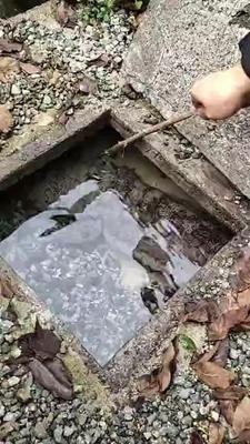 湖南省张家界市永定区娃娃鱼大鲵 人工殖养 1-2公斤