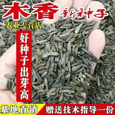 云南省昆明市西山区木香  种子(新种子)高出芽