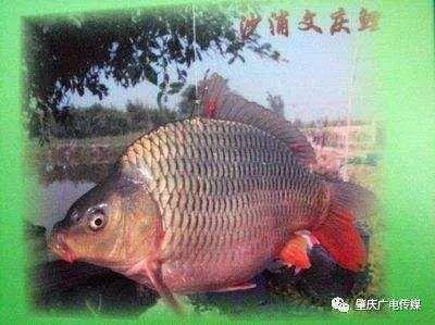 广东省佛山市高明区池鲤鱼 人工养殖 0.05公斤