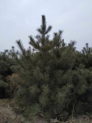 山西省太原市万柏林区山地油松