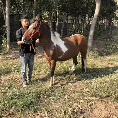 山东省济宁市嘉祥县德宝矮马 200-400斤
