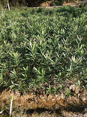 湖南省长沙市雨花区夹竹桃 0.5~1.0米 2公分以下 2公分以下