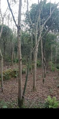 广西壮族自治区桂林市兴安县美国红枫/红花槭