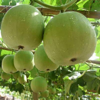 福建省南平市建瓯市香芋冬瓜种子 种子