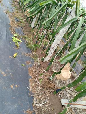 广西壮族自治区南宁市隆安县火龙果种子