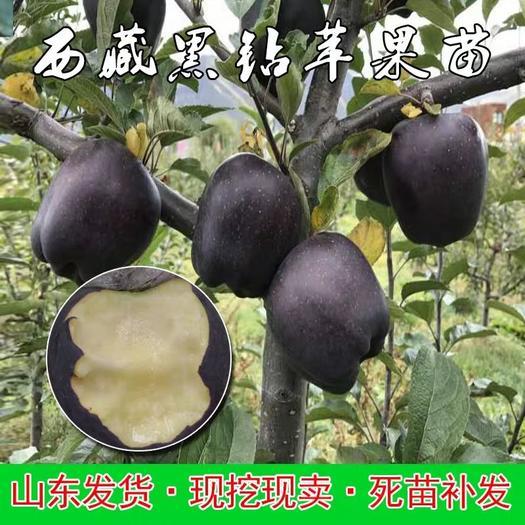 黑钻苹果树苗 品种齐全包成活包品种