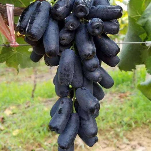 蓝宝石葡萄苗 嫁接苗包成活包品种