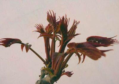 重庆武隆县红油香椿芽 6~9cm