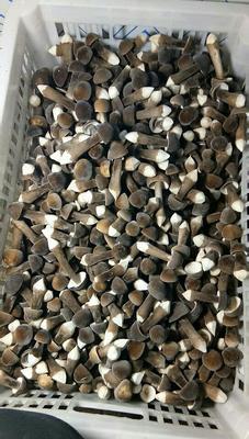 河北省石家庄市深泽县鸡枞菌 鲜货 人工种植 黑皮鸡枞 5cm~7cm
