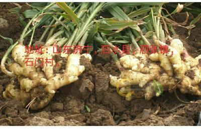 山东省济宁市泗水县黄姜 4~6两 带土