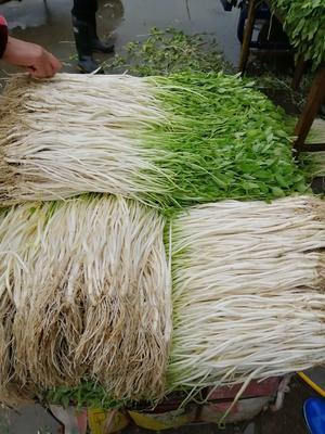 安徽省宣城市宣州区芽芹  55~60cm 1000斤起批
