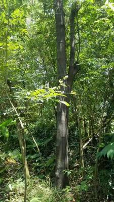 广东省广州市黄埔区檀香树