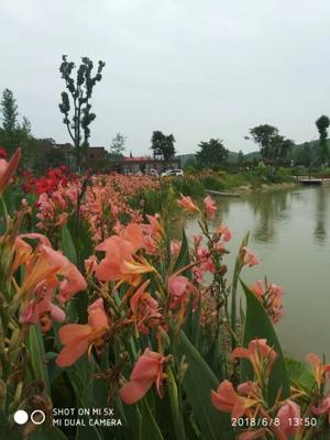 重庆沙坪坝区粉美人蕉 2cm以下 0.5~1米