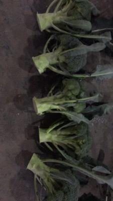 浙江省台州市临海市西兰花根 0.8~1.2斤 10~15cm