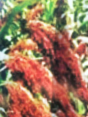 河北省沧州市青县红缨子高粱种子