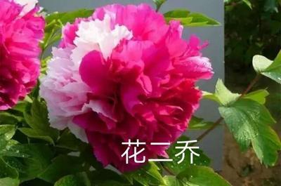 山东省菏泽市牡丹区观赏牡丹 0.5~1米 2cm以下 4cm以下