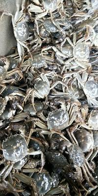 安徽省芜湖市无为县安徽螃蟹 0.3两 统货