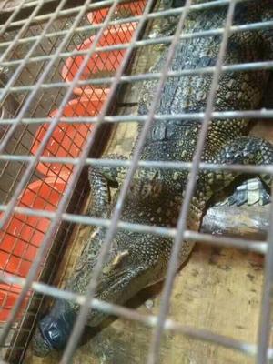山东省济南市市中区鳄鱼