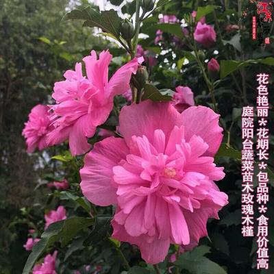 山东省临沂市平邑县红花木槿