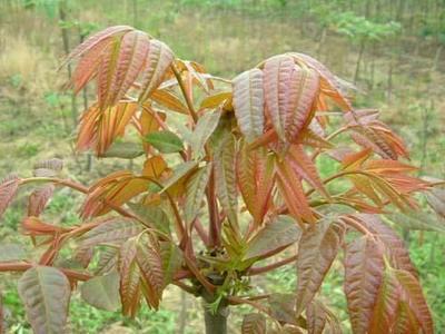 广西壮族自治区梧州市蒙山县红香椿芽 混装通货