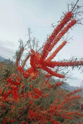 新疆维吾尔自治区塔城地区托里县沙棘果 桔红色