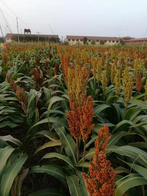 河北省沧州市青县红茅六号高粱种子 杂交种 ≥85%