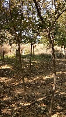 山东省泰安市岱岳区栾树