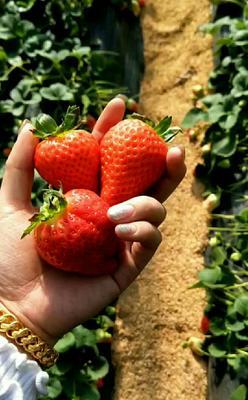 这是一张关于甜查理草莓 30克以上的产品图片