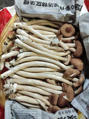 广东省广州市白云区棕褐色帽茶树菇 12~14cm 未开伞 鲜茶树菇