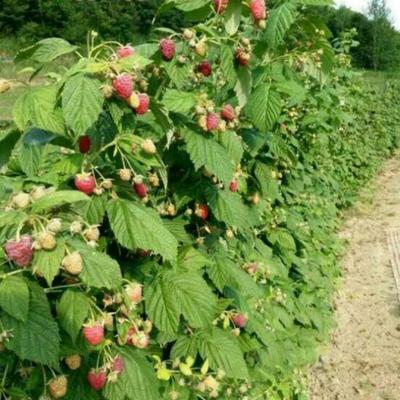 树莓苗 10~20公分 地栽苗
