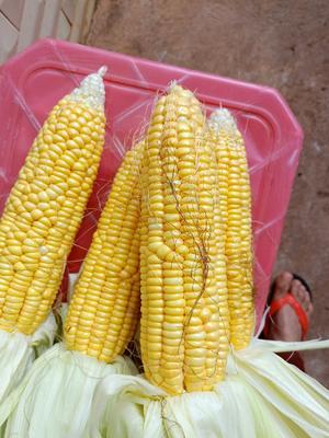 广东省湛江市徐闻县国标中等玉米 带壳 甜