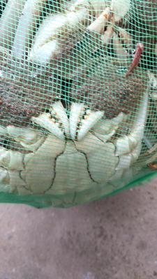 江苏省泰州市兴化市兴化螃蟹 3.0-3.5两 公蟹