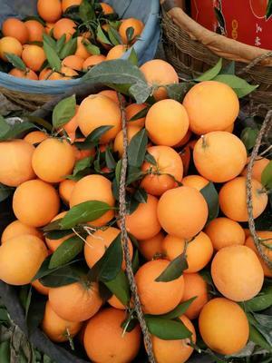 重庆奉节县纽荷尔脐橙 70-75mm 4-8两