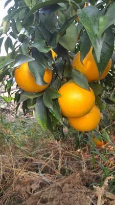 四川省眉山市东坡区9号脐橙 65 - 70mm 4两以下