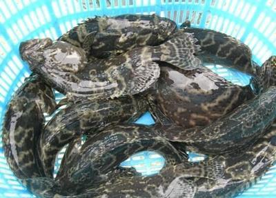 海南省万宁市万宁市珍珠龙胆石斑鱼 人工殖养 1-1.5公斤