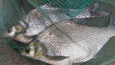湖南省岳阳市华容县池塘鳊鱼 人工养殖 1-1.5公斤