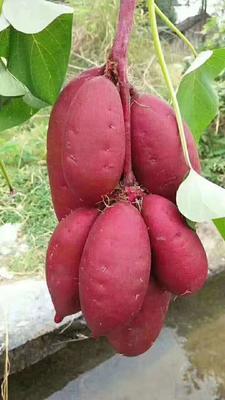 广东省佛山市南海区越南紫薯 3两~6两