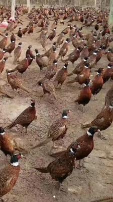 安徽省安庆市桐城市黑凤鸡 3-4斤