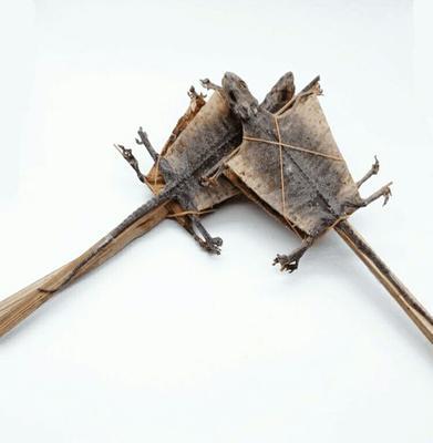浙江省杭州市上城区蛤蚧  两只包邮