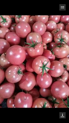 山东省青岛市平度市硬粉番茄 精品 弧二以上 硬粉