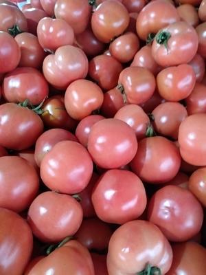 山东省日照市莒县硬粉番茄 通货 弧二以上 硬粉
