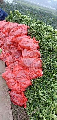 纽荷尔脐橙苗 嫁接苗 0.5~1米