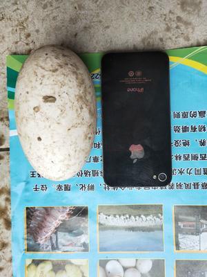 河南省驻马店市新蔡县大三花鹅蛋 食用 礼盒装