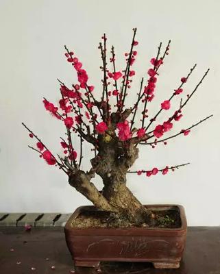 红梅  十年盆景大苗